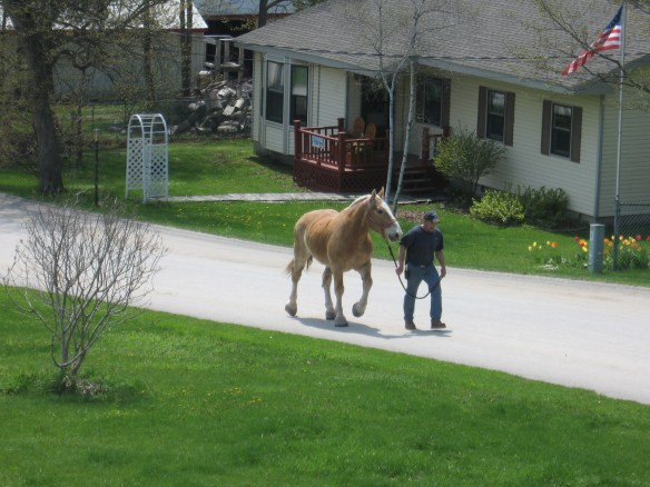 Another horse straight off the ferry and heading for the stables up the street several blocks behind our condo