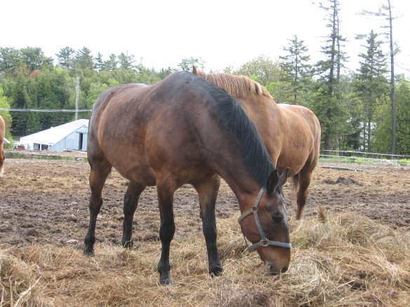The horses are beginning to lose their winter coats and look a little wooly right now.  Soon they will be sleek and shiny.