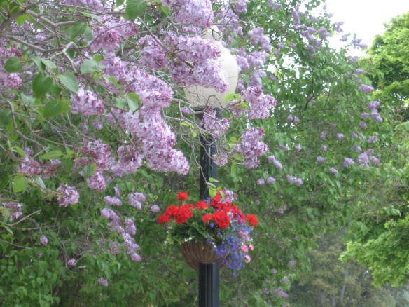 Red geranium hanging baskets stand out against a mass of lavender lilac blossoms.