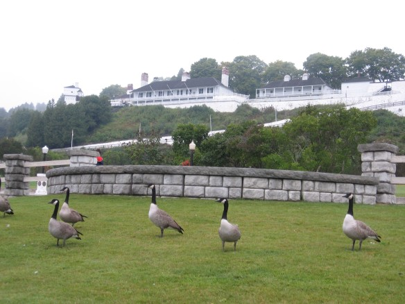 The geese just keep on coming.  They've now invaded this patch of grass above the marina and below the fort.