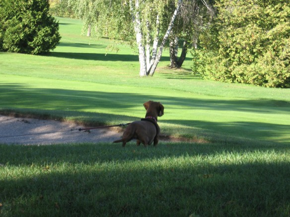 Maddie, watching as two golfers approach the green on the golf course.  If Ted had let her off the leash, those golfers would still have been looking for that ball.