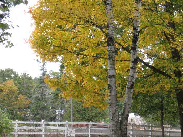 Beautiful white birches, across from the horse corral.
