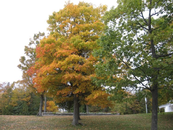 A beautifull maple tree behind the school.