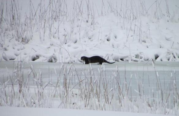 Orietta and Steve spotted this otter playing on the frozen pond near their home.