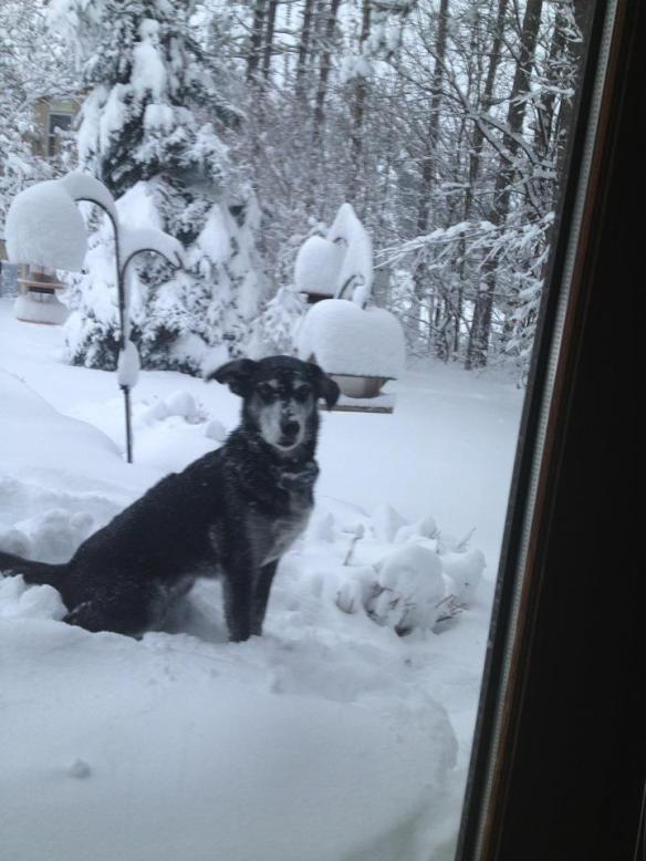 """A little further south - in Gaylord - Brian and Jeri-Lynn's """"Cricket"""" awoke to a deep covering of snow in their backyard."""