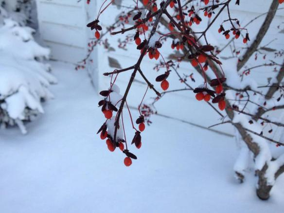 Red berries against pristine white snow.  (Photo: Mission Point Resort)