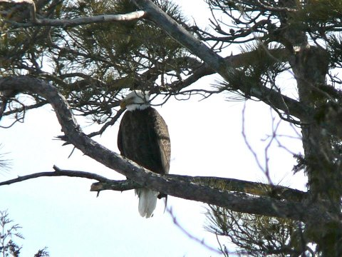 How often do you see this!?  Robert McGreevy captured this stunning photo of an Eagle resting in a tree near Point Aux Pins, which is the northwest tip of the island.