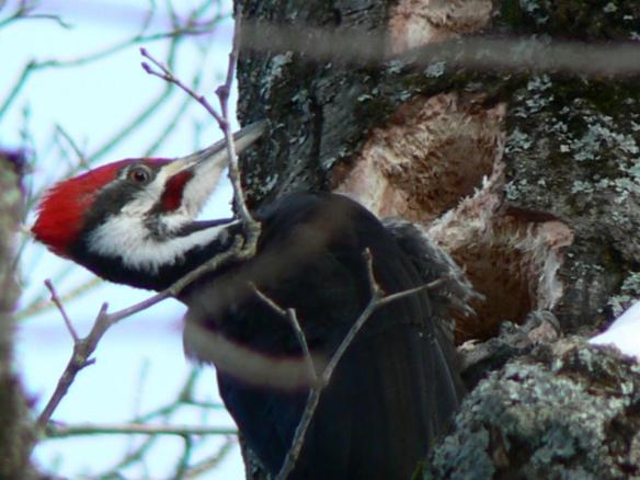 Heard, but not seen that much, a beautiful photo of a pileated woodpecker spotted by Robert McGreevy.