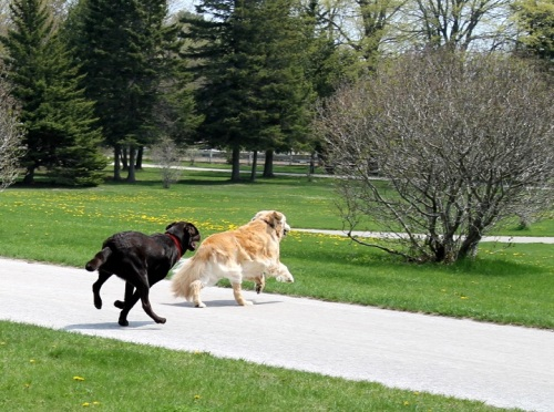 Bear made a new friend this afternoon - Jack, a chocolate lab who lives a little further up our hill.