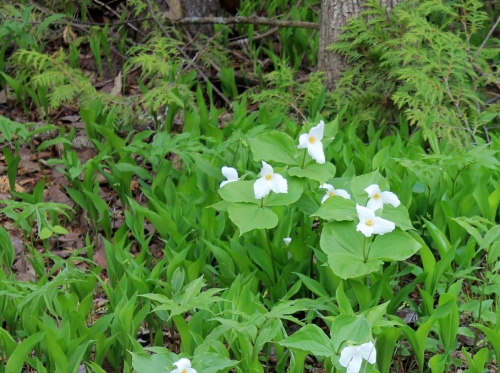 The trillium are blooming this week in the woods.