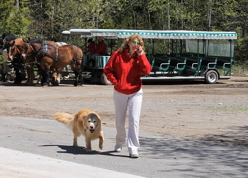 Not finding Denise unloading riders at the front of the Carriage Museum, Bear made a bee-line for the back lot - where he waited for her to get off the phone before begging for treats.