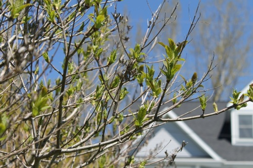 Before going in we checked on the progress of our Lilac bushes.  Leaves are coming on really fast!  I still haven't checked downtown . . . have GOT to do that!
