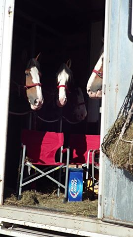 . . . the Budweiser Clydesdales were unloaded!