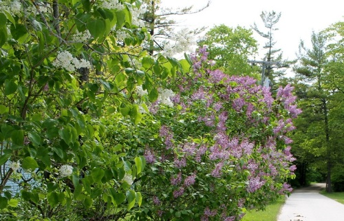 The Lilacs in the Village are joining those all over the Island in trying to outdo each other for color and variety.