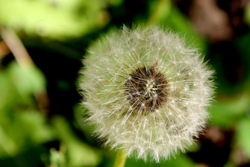 Dandelion close-up.