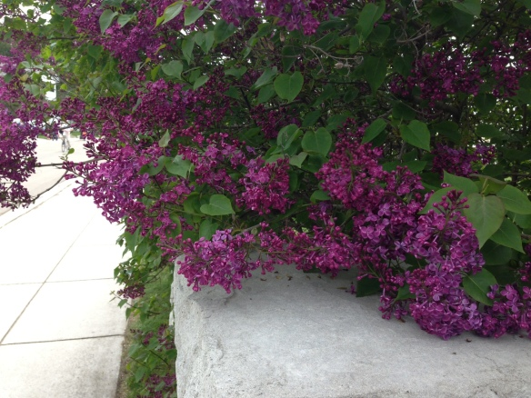 "These next few photos are of he same bush.  We unofficially named it ""the most beautiful Lilac bush on the Island"" - at least for today."
