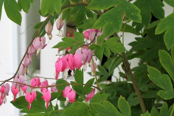 . . . and Bleeding Hearts.