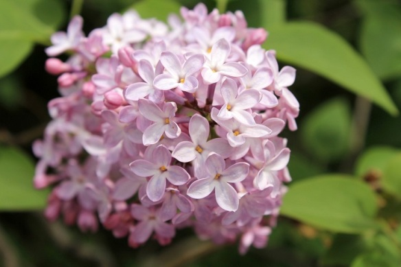 . . . and light Lilacs!