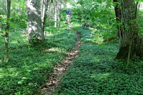 Later that afternoon we took a long walk in the cool woods, where the ground cover is about to be covered in flowers.  On the right side is Lily-of-the-Valley.  On the left will be tiny, perfect purple flowers.  Anyone know that those are?