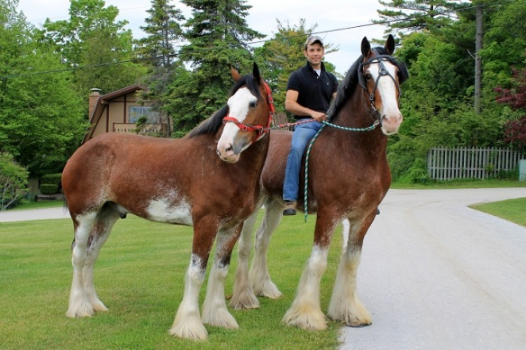 It's not often you can wake up with two Budweiser Clydesdale in your front yard, but it happened this week! These two, Duke and Jack, were here with four of their team-mates for the Lilac Parade! That's Kyle on Duke's back.