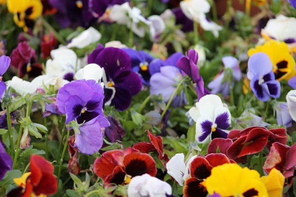 Pansies! Don't you just love pansies!