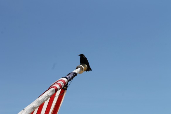This crow had a bird's eye view of everything today after he found a perch on the end of the flagpole at the Tea Room.