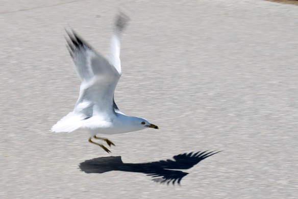A seagull comes in for a landing on his own shadow.