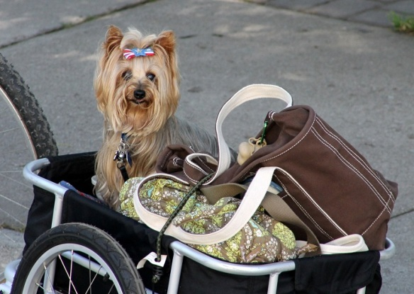 This is Susan and Rob's precious Yorkie, Bailey George!  What a doll!