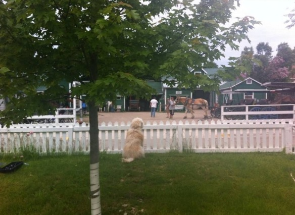 O'Malley (a Golden Doodle) looks longingly through her fence to the activity at Jack's Livery.  O'Malley belongs to blog reader Mary Donnelly Jackson, her husband David and precious little girl Rory.