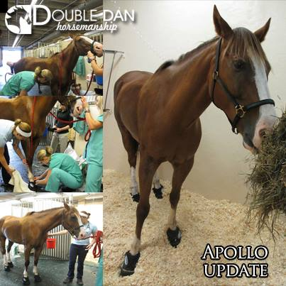 APOLLO UPDATE: This weekend Apollo is looking good. He was moved out of his peat moss stall and into a stall full of shavings. He got a bath and has special soft boots on to help keep him comfortable.