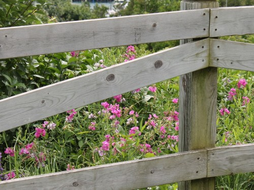 . . . where wildflowers bloom along wooden fences.