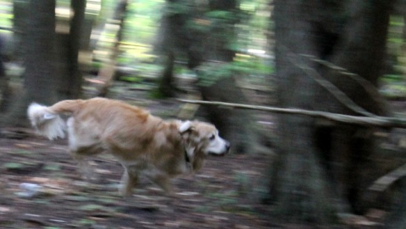Now that Bear is feeling better, he is getting rid of a lot of pent-up energy on every walk.  Once off-leash in the woods he breaks into an all-out run and races through bushes and over fallen trees like a pack of wolves is after him.