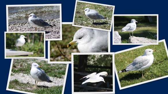 Click on each seagull to enlarge.