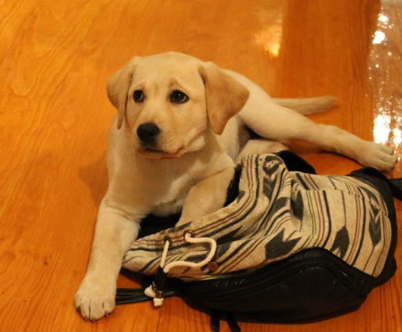 Oh my the way.  The hit of the party was a yellow lab puppy named Millie . . .