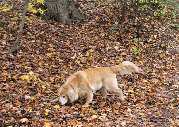 Bear and Maddie love October too, but for them it's all about the smells! Gone are the light aromas of sunshine - replaced by the rich, loamy smell of dying leaves and damp ground.