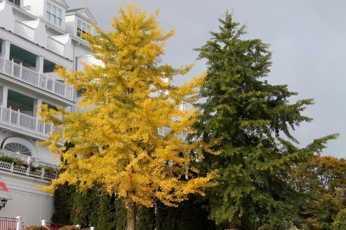 These look like two trees of the same species to me.  But how can they be when one has turned a beautiful buttery yellow and the other remains green