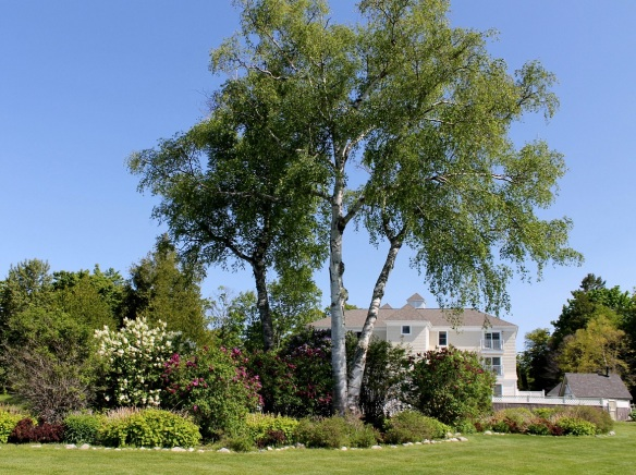 The backyard of the Summer House Suites is a garden of birch trees and lilacs.