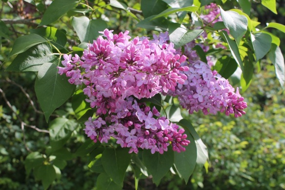 . . . to the lilacs!