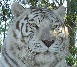 Angel - a White Tiger