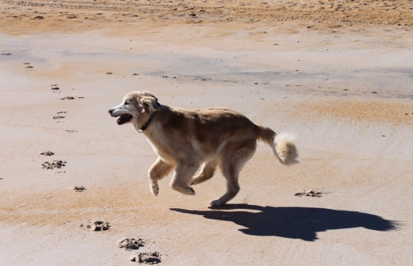 . . . . and is enjoying his romps on the beach so much more! I sent these two photos to our wonderful vet in Georgia who performed Bear's knee surgery - just to show him how well he's doing. Can't believe that's been a year-and-a-half ago!