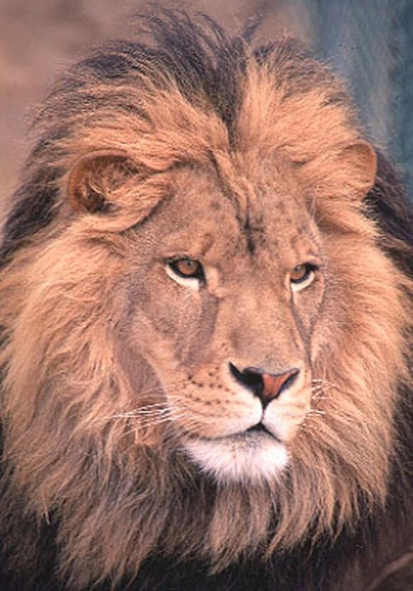 Mufasa - an African Lion