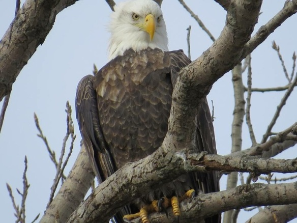 Cheryl is from Plainfield IL and travels during the winter photographing bald eagles. This one was in Starved Rock State Park in Utica IL.