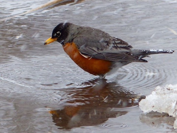 This robin seemed to be considering heading back a little south as it contemplated its reflection in the icy puddle. (Photo: Robert McGreevy)