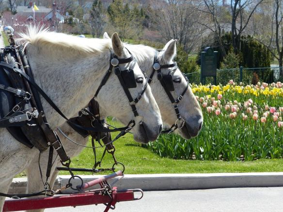 Horses and tulips - one of those perfect combos! (Photo: Clark Bloswick)