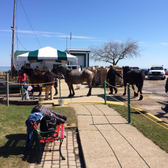 Horses have been arriving for weeks now - these loading onto a ferry from St. Ignace. (Photo: Kellie Lawrence)