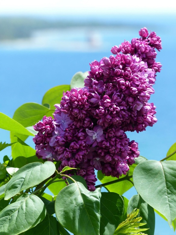 And whether you see them from afar or from up close, once you've experienced Mackinac during lilac season, you will always want to return at the same time the next year - and the next. (Photo: Clark Bloswick)