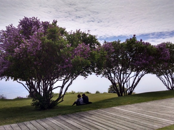 Lilacs blooming along the boardwalk