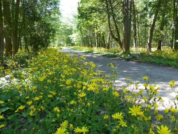 One of my favorite times of the summer on Mackinac is right now - when the woods are a blanket of yellow. (Photo: Clark Bloswick)