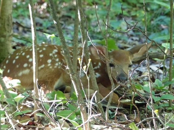 Island resident Larry Rickley made an amazing discovery in the woods last week and called Clark Bloswick to hurry over for a photograph. There are about seven deer on the island now, and this is the newest one!