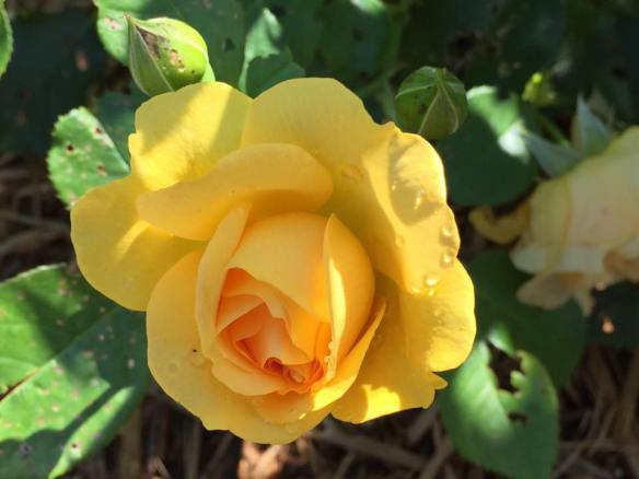 A yellow beauty from Grand Hotel's Rose Walk.